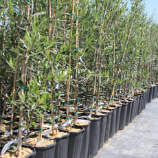 Olive Oil Trees